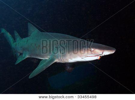 Sandtiger Shark On Shipwreck