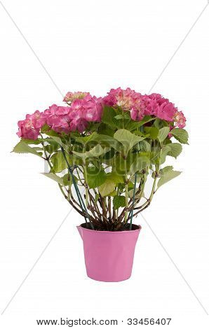 hydrangea flowers with a pink pot
