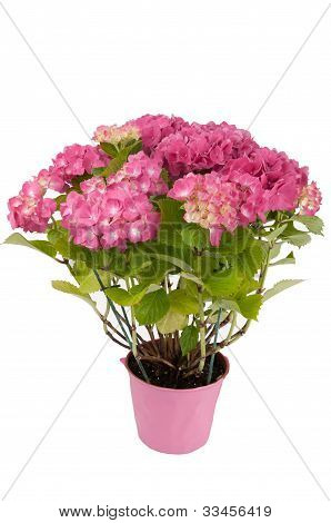 hydrangea flowers with a pink pot (top view) on a white background