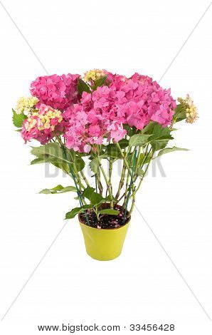hydrangea flowers with a green pot (top view)