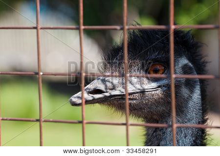 Portrait Of An Ostrich Behind Bars In A Zoo