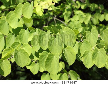 Leaves Of Katsura Tree, Cercidiphyllum Japonicum
