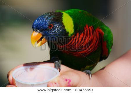 Feeding A Rainbow Lorikeet