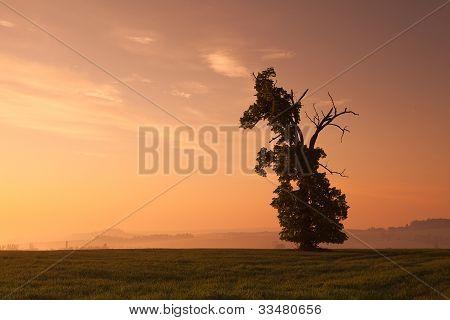 Memorable oak