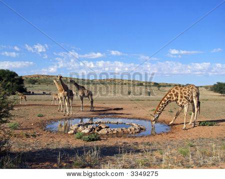 Girafa bebendo