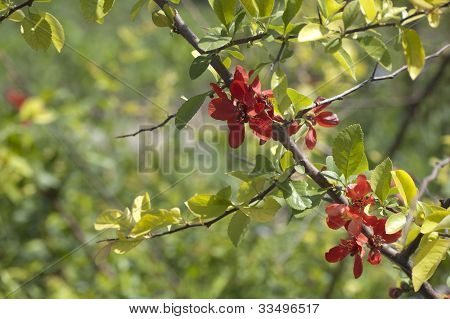 Bloomingjapanese Quince Tree