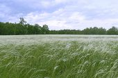 Lawn With White Fluffy Grass, Nassella Tenoissima. Green Feather Grass In The Steppe Or Forest. It S poster