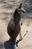 The Joey Red Kangaroo Is Looking Over His Shoulder poster