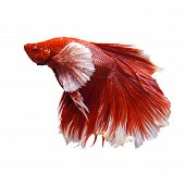 stock photo of dragon-fish  - scene of red and white thai fighting fish isolated white - JPG
