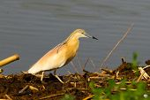 Squacco Heron looking for food on the shore / Ardeola ralloides