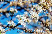 Cherry Tree White Flowers Blossom Blue Sky Background. Cherry Fruit Tree Branch Blossom Like White F poster