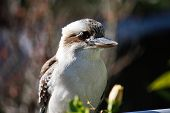 stock photo of kookaburra  - An Australian native kookaburra sitting on a rail waiting to be fed in Sydney - JPG