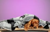 Home Comfort. English Cocker Spaniel Young Dog Is Posing. Cute Playful Brown Doggy Or Pet Lying With poster