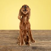 English Cocker Spaniel Young Dog Is Posing. Cute Playful Brown Doggy Or Pet Playing On Wooden Floor  poster