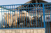 Camels Are In Their Cages At The Zoo.camels Are In Their Cages At The Zoo. poster