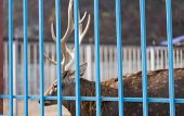 Zoo Cage Behind Which Is A Deer.zoo Cage Behind Which Is A Deer poster