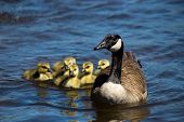 stock photo of baby goose  - Canadian goose swimming with thier goslings on the Ottawa river.