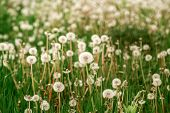 Nature White Flowers Blooming Dandelion. Background Beautiful Blooming Bush Of White Fluffy Dandelio poster