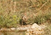 image of meadowlark  - Lark common drinking water in a meadow - JPG