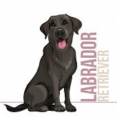 Happy Black Labrador Retriever Sitting On White Background poster