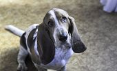 Tricolor Young Beautiful Adorable Basset Hound Sitting Looking At Camera poster