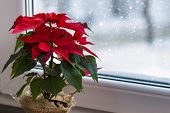 Red Poinsettia, A Traditional Christmas Flower In The Winter Window. Copy Space. poster