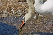 Flock Of Swans During Feeding Time At Abbotsbury Swannery In Dorset, United Kingdom poster