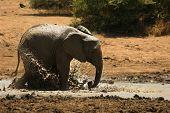 Young African Bush Elephant (loxodonta Africana) Splash Mud. Elephant In Bath. Elephant Splash Mud. poster