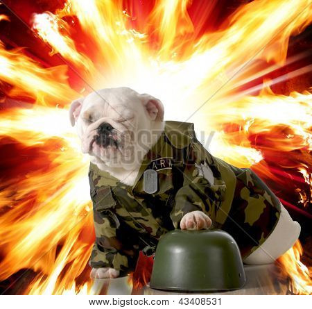 military dog - english bulldog dressed up in army camo with explosion in the background