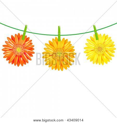 3 Gerbers Flowers With Clothespegs, Isolated On White Background