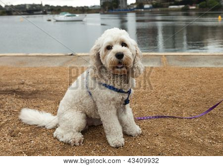 Bichon Frise Dog Out For A Walk