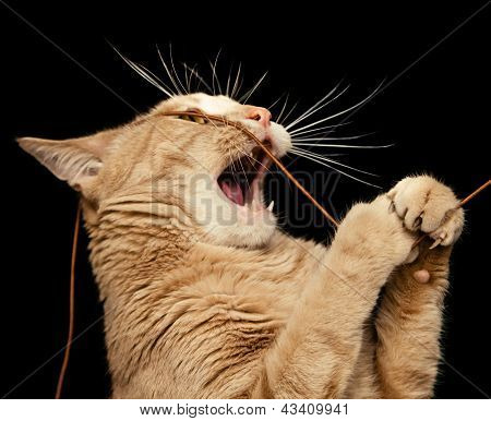 Ginger Cat Playing With A String