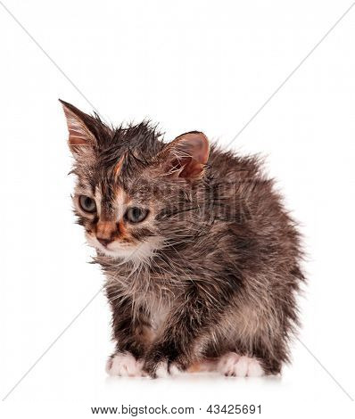 Wet little kitten isolated on white background