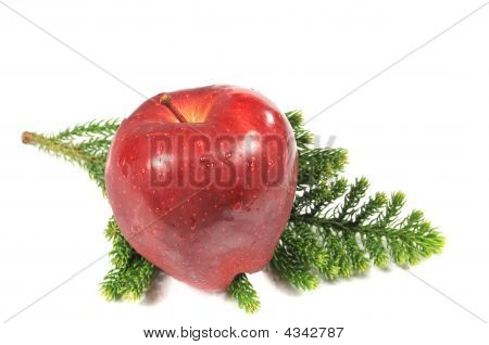 Apple Over Pine Tree Branch
