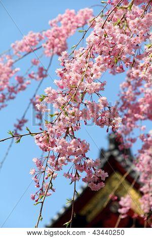 Flor de cereja rosa