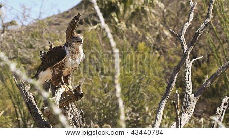 A Ferruginous Hawk In The Sonoran Desert