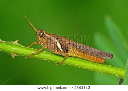 Brown Grasshopper And Leaf In The Parks