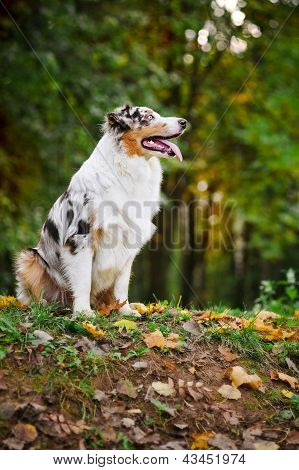Young Merle Australian Shepherd Look Up
