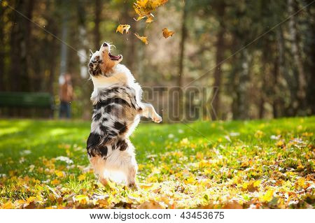 Young Australian Shepherd Playing With Leaves