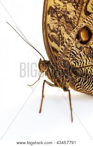 Caligo Memnon or Owl Butterfly over white background