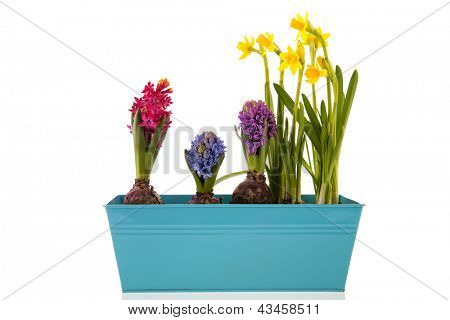 Colorful Hyacinths and yellow daffodils isolated over white background