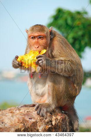 Monkey Eating Fruit On The Rock