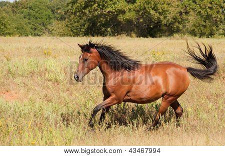 Beautiful light bay Arabian cantering across an autumn field