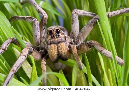 Wolf Spider In Grass