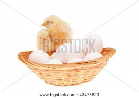 cute live little baby chicken inside wicked basket isolated on white background on white eggs