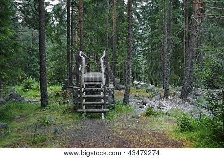 Beautiful conifer trees in the forest - Rila mountain