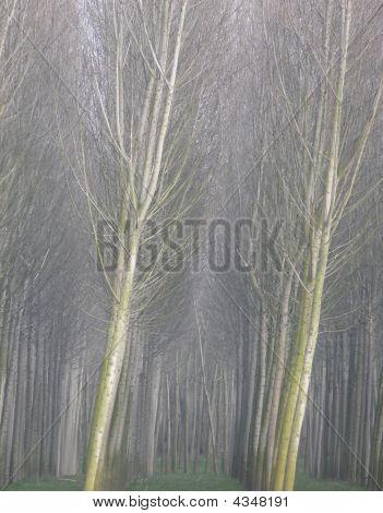 Poplar Rows