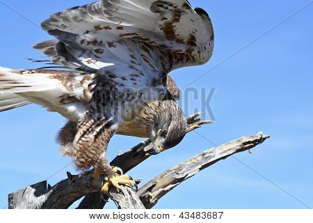 A Ferruginous Hawk On An Old Snag