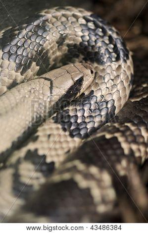 Agua falsa Cobra Hydrodynastes Gigas