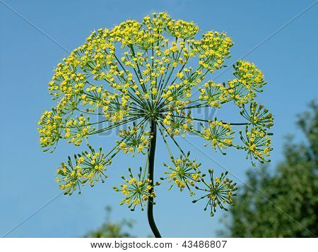 Yellow flowers of fennel